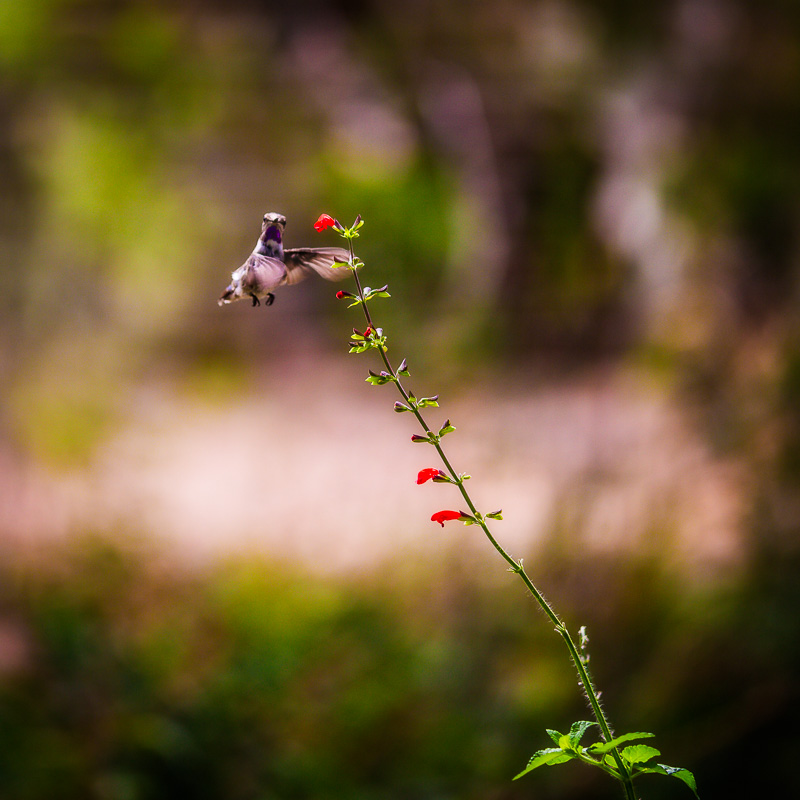 One last image to leave you with - notice the shallow depth of field?  it makes it very easy to see the hummingbird and flower.  Had I used a smaller aperture, finding the hummingbird would have been a 'Where's Waldo' type of experience.